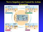 nerve impulses are caused by action potentials