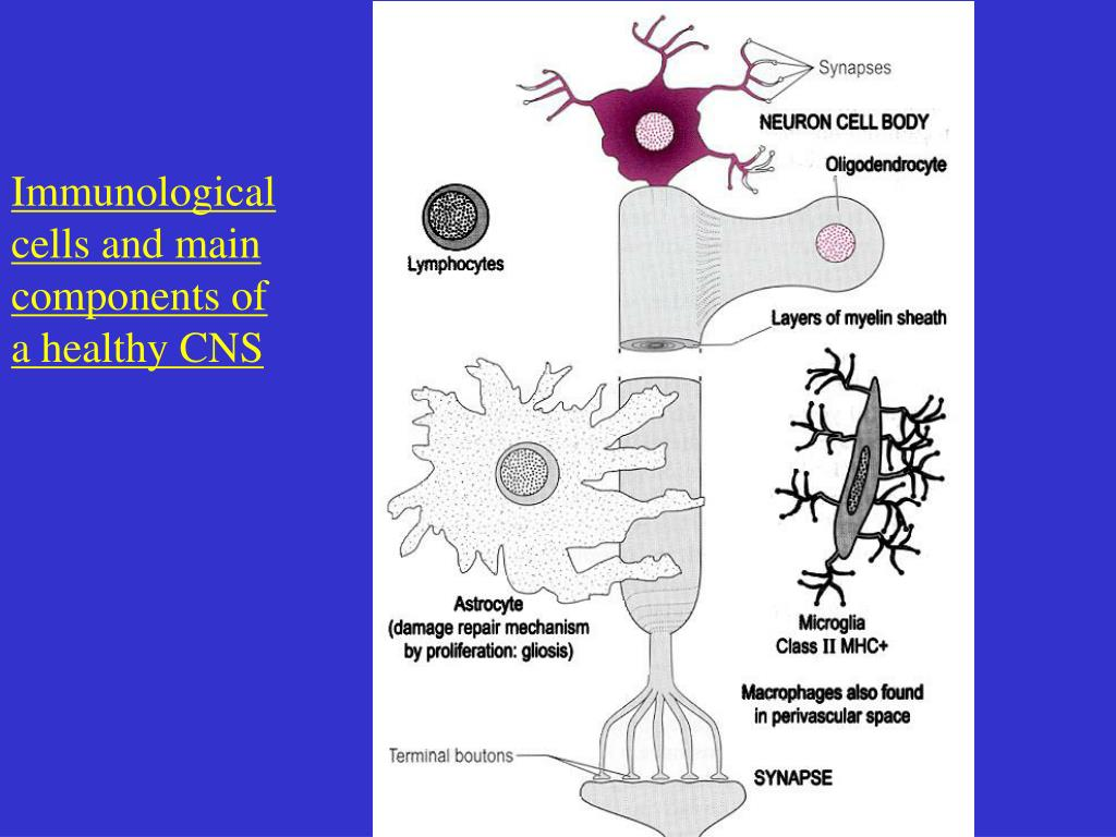 Immunological cells and main components of a healthy CNS