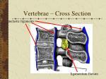 vertebrae cross section