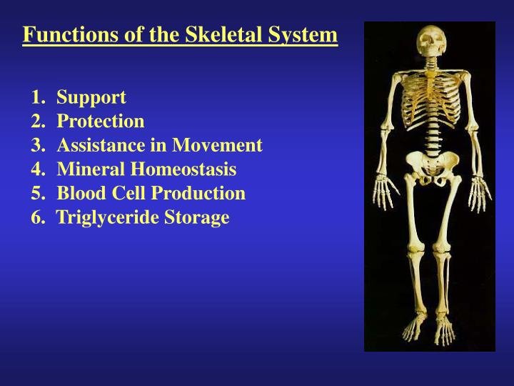 PPT - Functions of the Skeletal System PowerPoint Presentation - ID ...