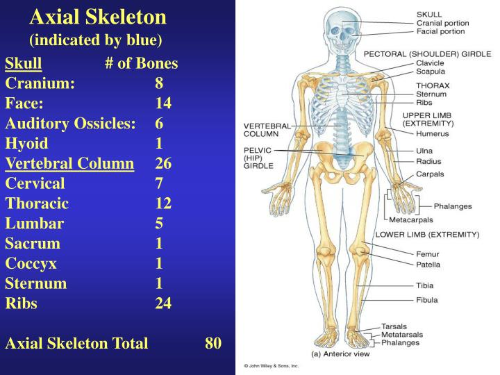 axial skeleton function
