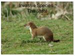 invasive species the stoat