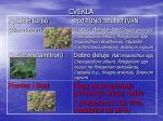 cvekla1