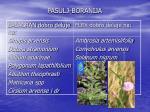 pasulj boranija1