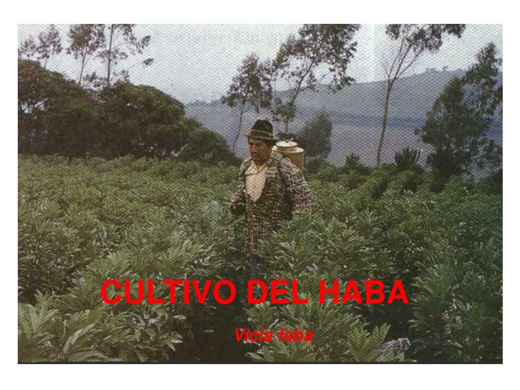 CULTIVO DEL HABA