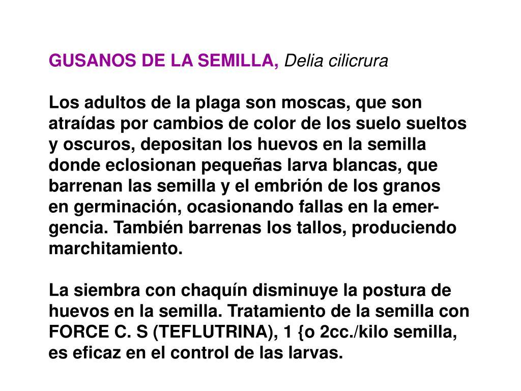 GUSANOS DE LA SEMILLA,