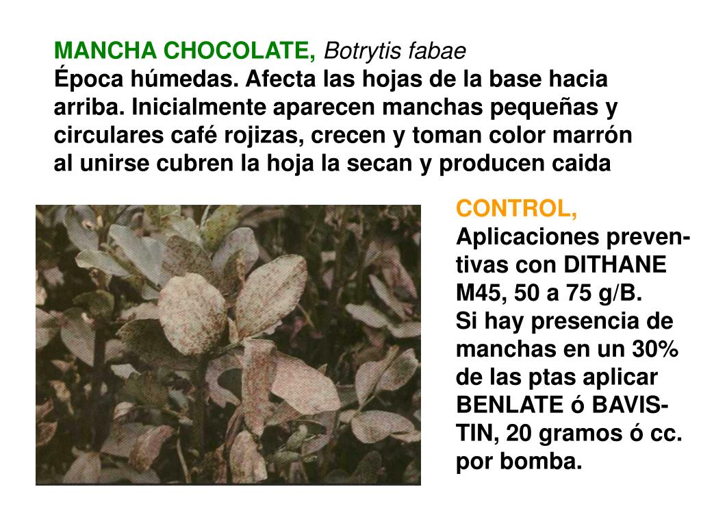 MANCHA CHOCOLATE,