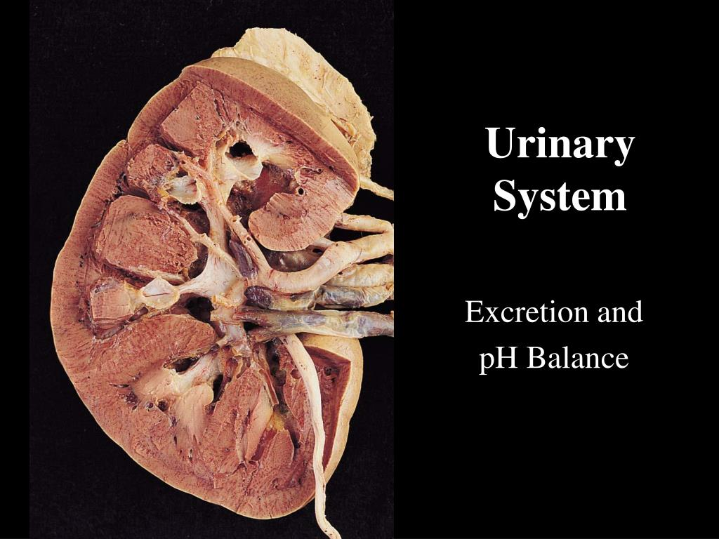 urinary system l.