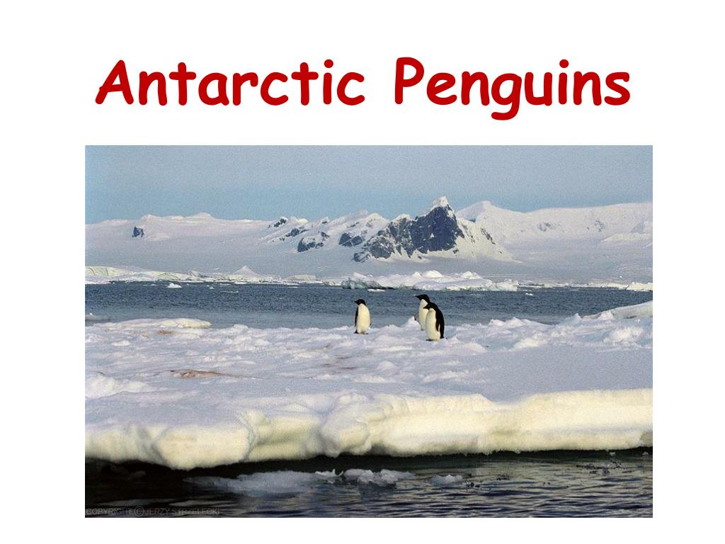 antarctic penguins l.