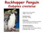 rockhopper penguin eudyptes crestatus