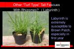other turf type tall fescues with rhizomes labyrinth