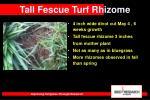 tall fescue turf rhizome27