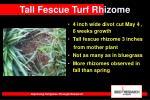 tall fescue turf rhizome37