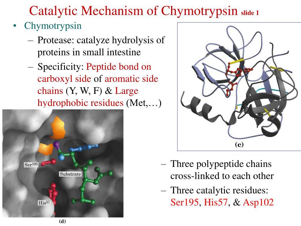 catalytic mechanism of chymotrypsin slide 1 l.