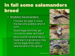 in fall some salamanders breed