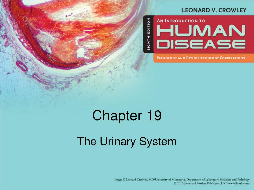 the urinary system l.