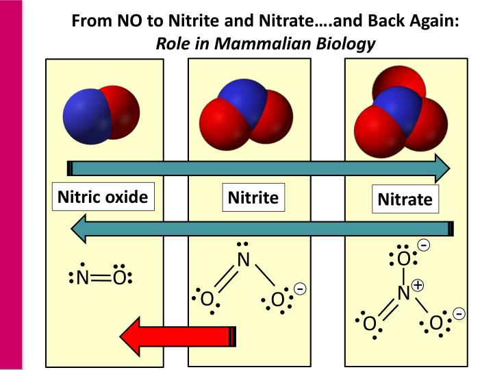 From NO to Nitrite and Nitrate….and Back Again: