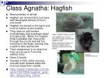 class agnatha hagfish