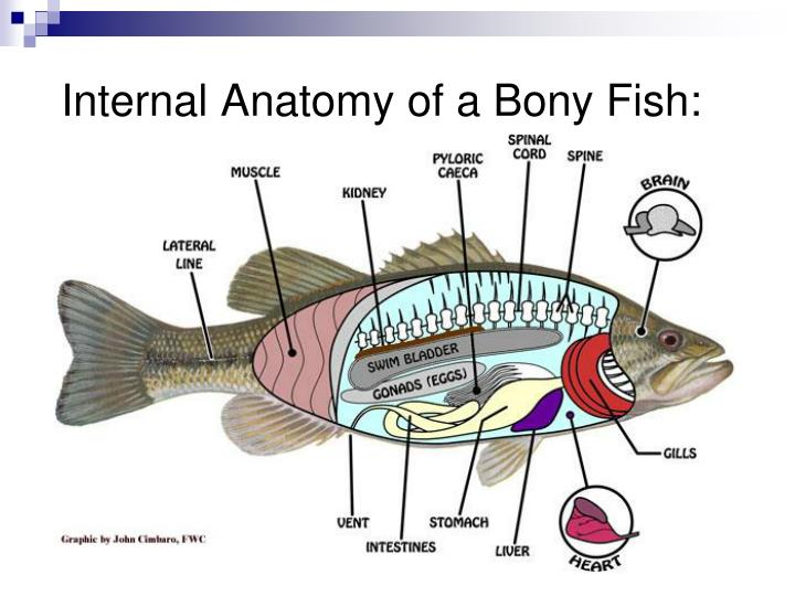 Ppt The Fishes Powerpoint Presentation Id711056