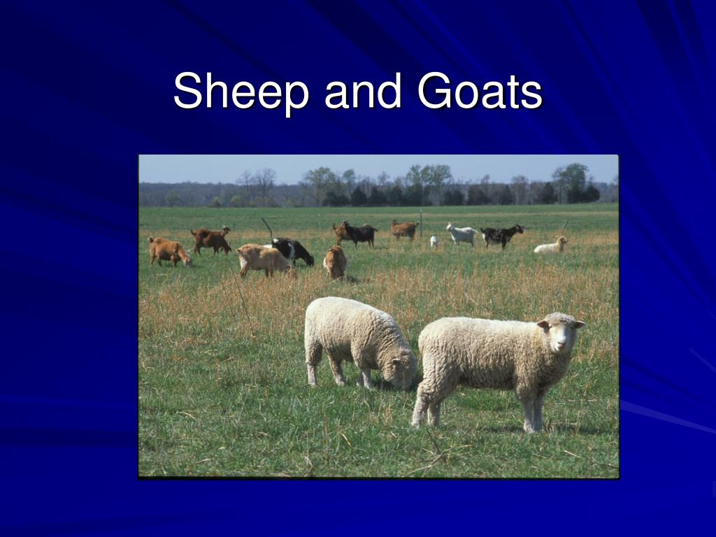 sheep and goats l.