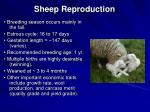 sheep reproduction