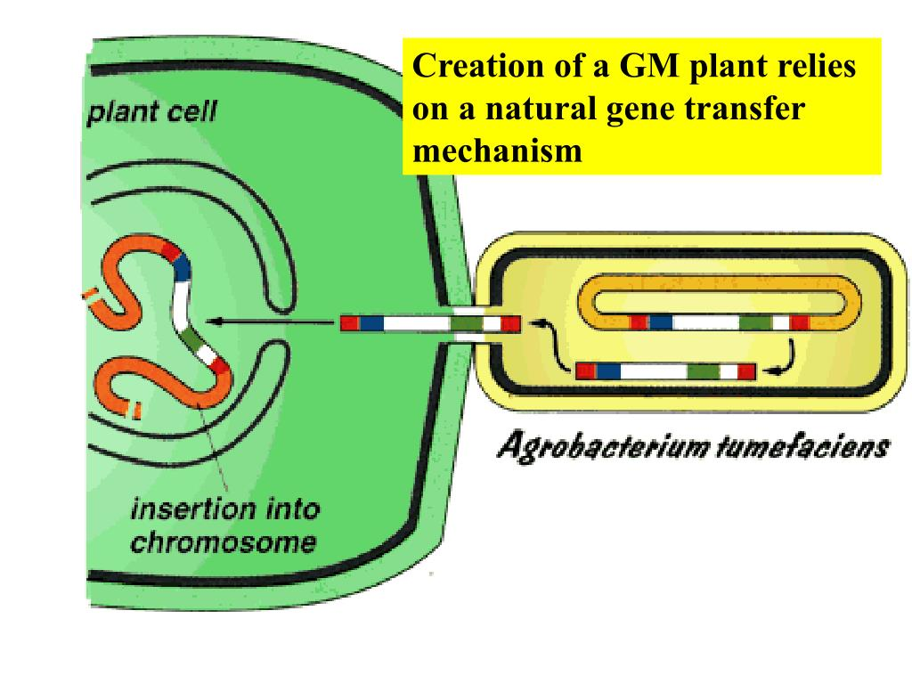 Creation of a GM plant relies on a natural gene transfer mechanism
