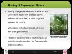 rooting of regenerated shoots