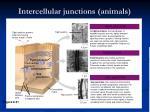 intercellular junctions animals
