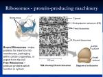 ribosomes protein producing machinery