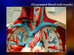oxygenated blood red vessels