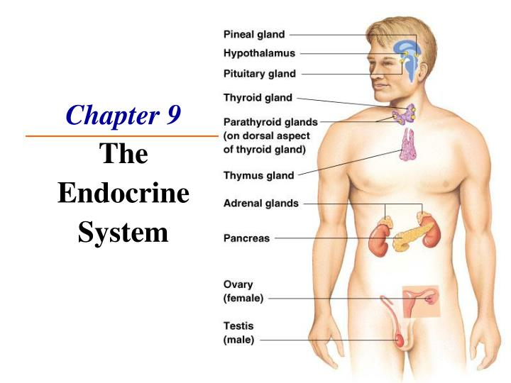 Ppt chapter 9 the endocrine system powerpoint presentation id712484 chapter 9the endocrine system toneelgroepblik Gallery
