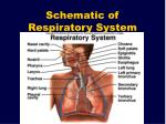 schematic of respiratory system