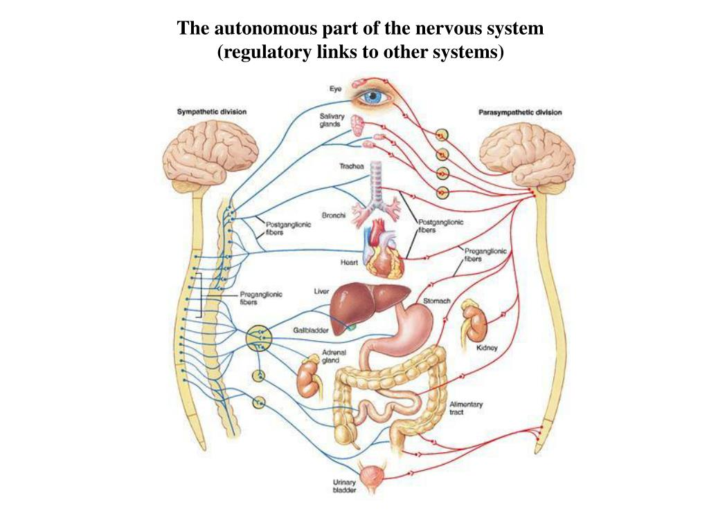 The autonomous part of the nervous system (regulatory links to other systems)