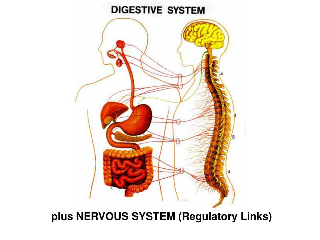 plus NERVOUS SYSTEM (Regulatory Links)