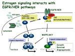 estrogen signaling interacts with egfr her pathways
