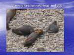 starving sea lion yearlings and pup