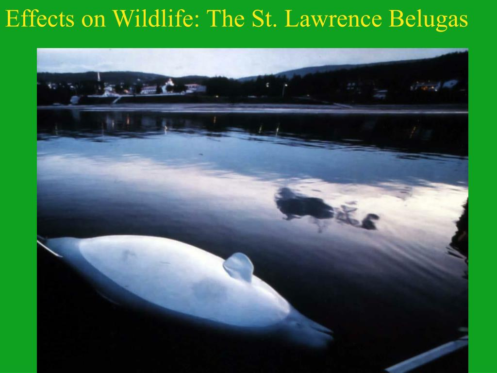 Effects on Wildlife: The St. Lawrence Belugas