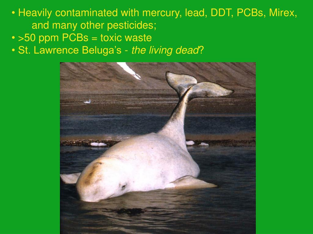 Heavily contaminated with mercury, lead, DDT, PCBs, Mirex,