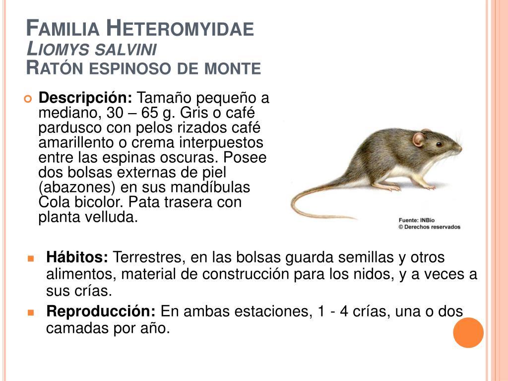 familia heteromyidae liomys salvini rat n espinoso de monte l.