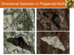 directional selection in peppered moths1