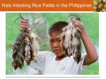 rats infesting rice fields in the philippines