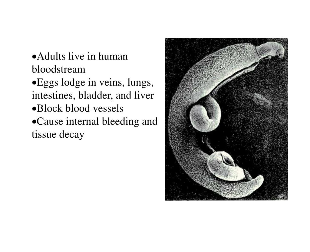 Adults live in human bloodstream