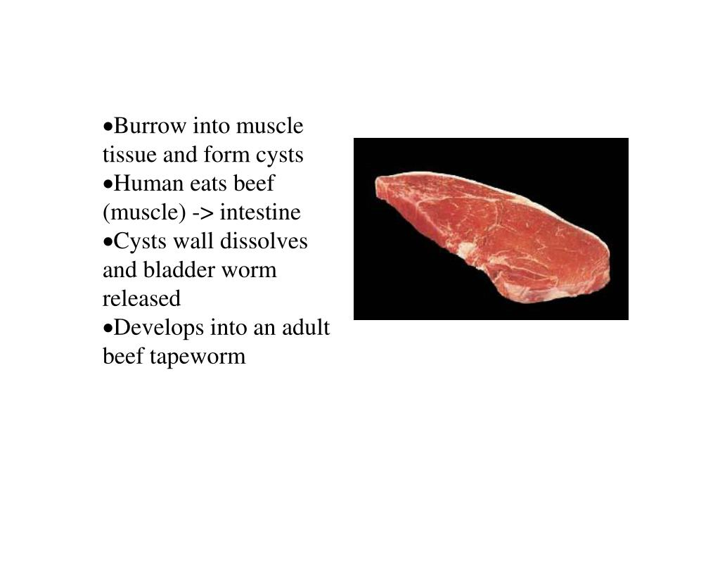 Burrow into muscle tissue and form cysts
