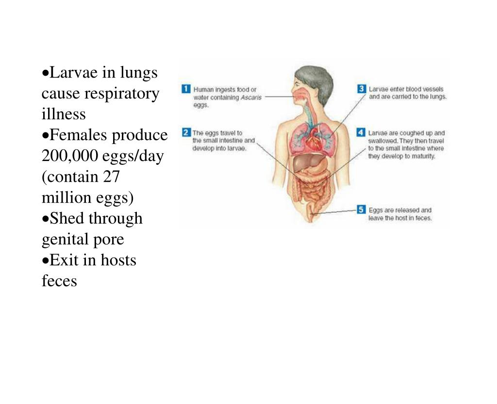Larvae in lungs cause respiratory illness
