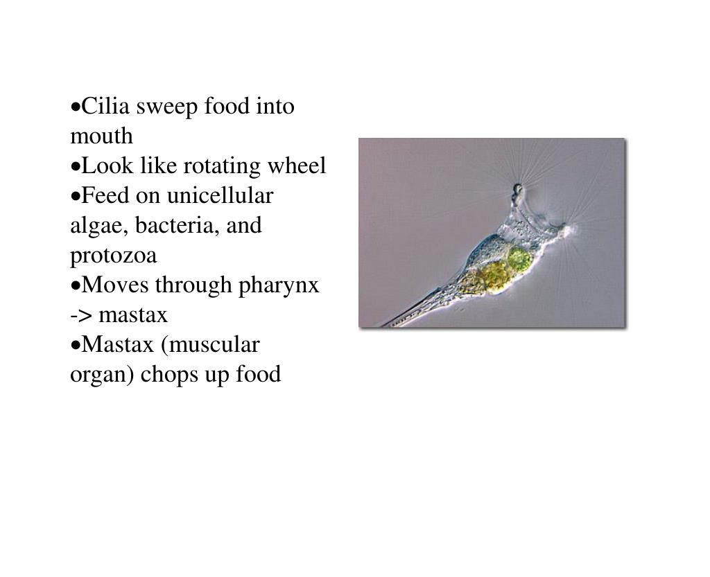 Cilia sweep food into mouth