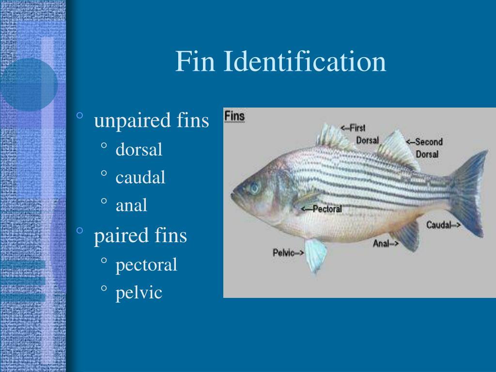 Fin Identification