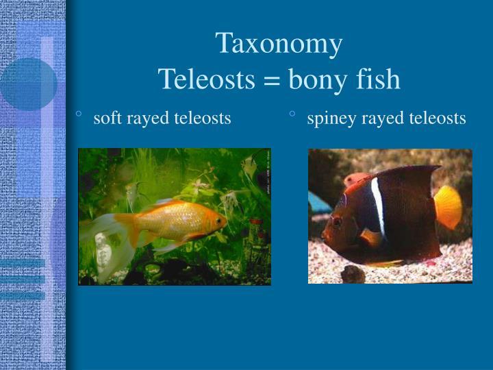 Taxonomy teleosts bony fish