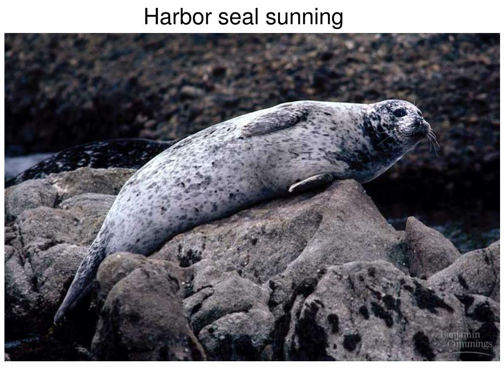 Harbor seal sunning