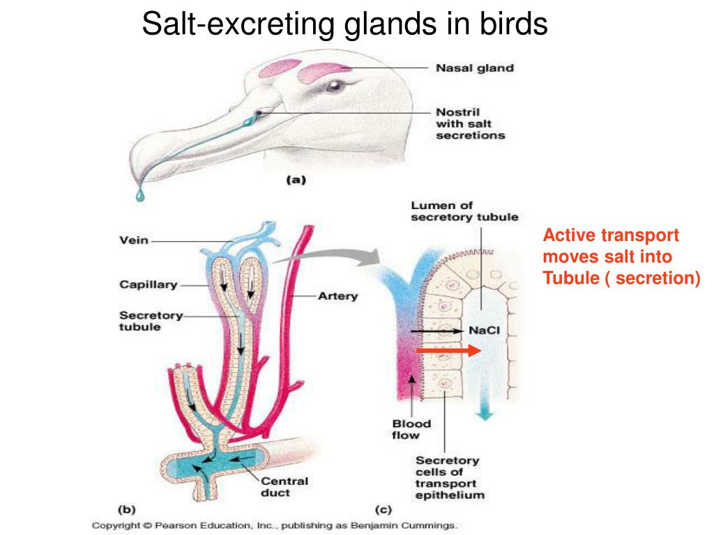 Salt-excreting glands in birds