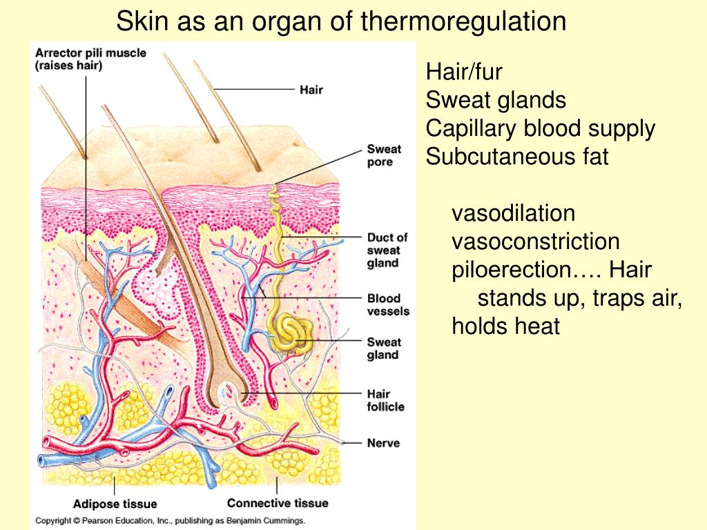 Skin as an organ of thermoregulation